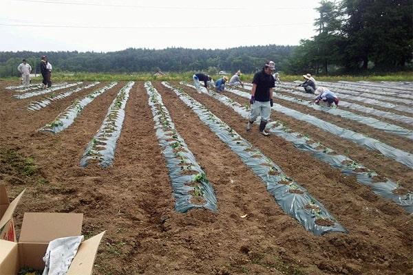笹の川酒造 苗植え