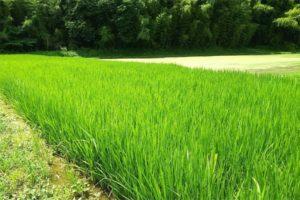 天鷹酒造 米作り