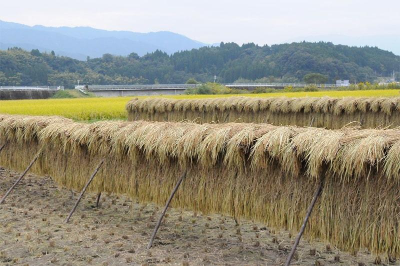 大石酒造場 稲作風景
