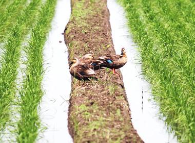 高田酒造場 アイガモ農法