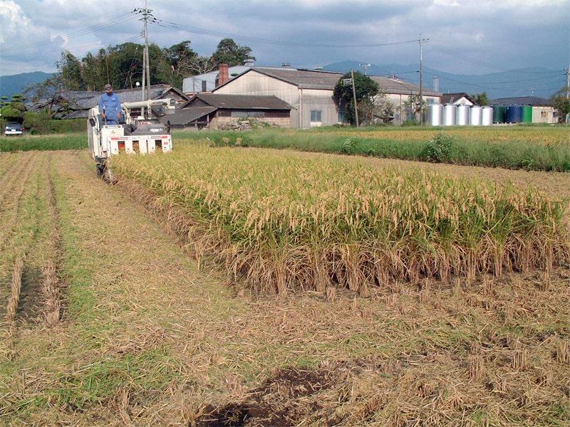 恒松酒造 ひのひかり収穫風景