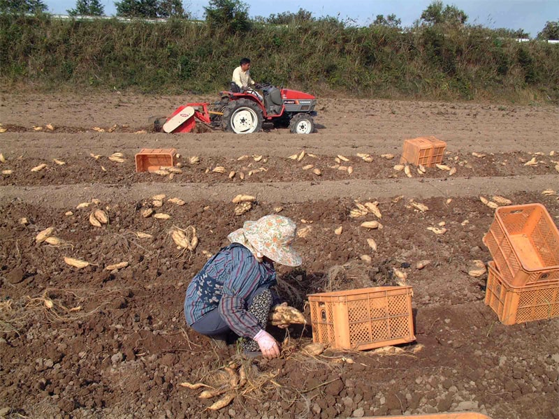 恒松酒造 芋収穫風景