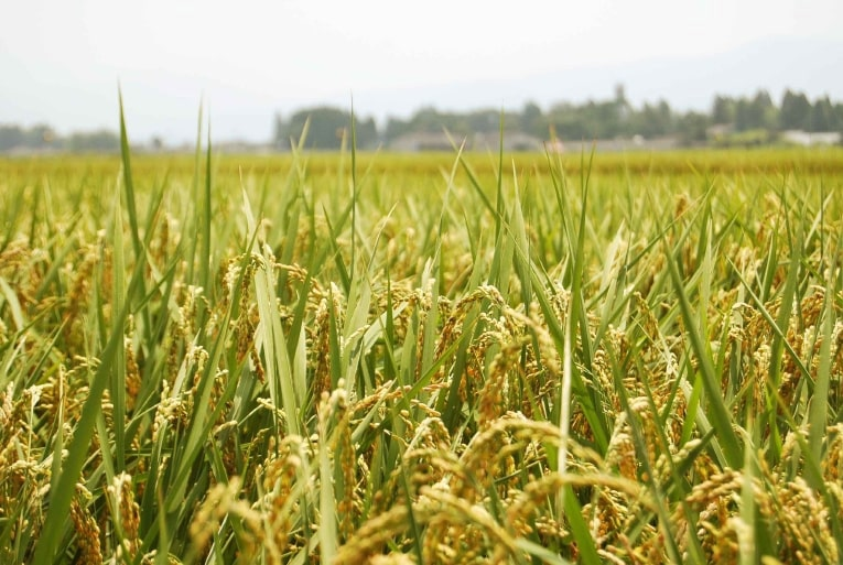 松下醸造場 契約農家の田園風景
