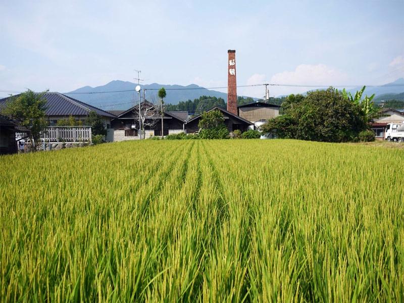 豊永酒造 田んぼ風景