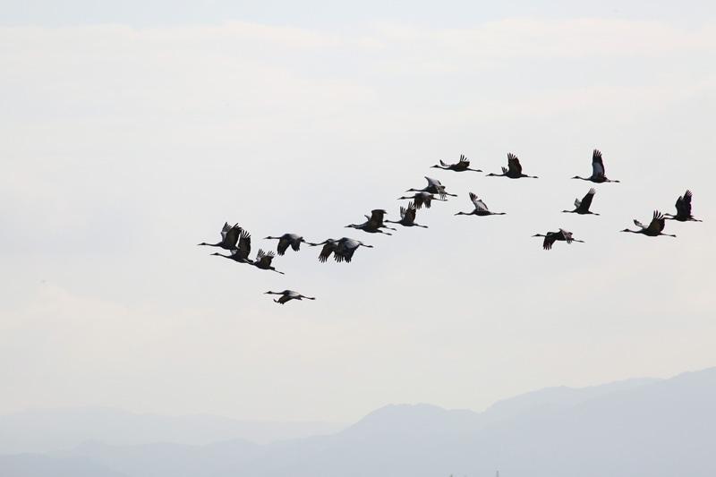 出水市は鶴の飛来地