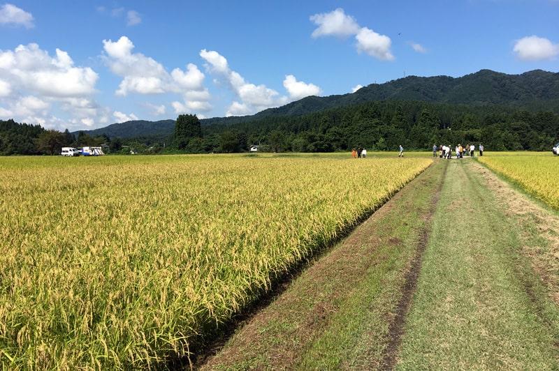 金升酒造 稲刈り風景
