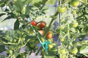 トマト栽培風景