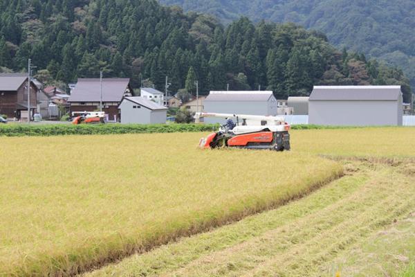 越淡麗 稲刈り風景
